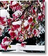 Early Magnolia Late Snow Metal Print
