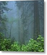 Early Morning In The Forest, Humboldt Metal Print