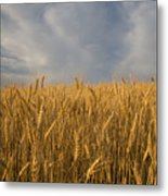 Early Morning Landscape Of Wheat In Palouse Metal Print
