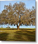 Early Morning Oak Metal Print