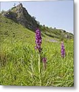 Early Purple Orchids Metal Print