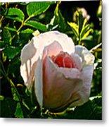 Early Rose Metal Print
