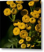 Early Tansy Metal Print