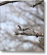 Eastern Bluebird - Old And Alive Metal Print