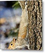 Eastern Gray Squirrel Sciurus Metal Print