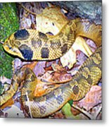 Eastern Hognose Snake Metal Print by Kathy  White