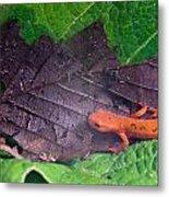 Eastern Newt Notophthalmus Viridescens 26 Metal Print