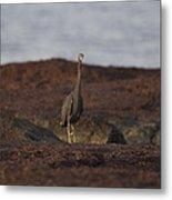 Eastern Reef Egret-dark Morph Metal Print
