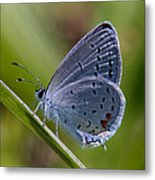 Eastern Tailed-blue Butterfly Din045 Metal Print