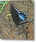 Eastern Tiger Swallowtail 8537 3215 Metal Print