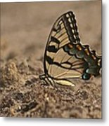 Eastern Tiger Swallowtail 8542 3219 Metal Print