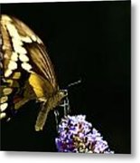 Eastern Tiger Swallowtail Butterfly On Butterfly Bush Metal Print