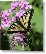 Canadian Tiger Swallowtail On Phlox Metal Print