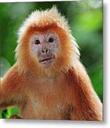 Ebony Leaf Monkey Trachypithecus Metal Print