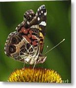 Echinacea Butterfly Meal Metal Print by Darleen Stry
