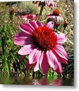 Echinacea In Water Metal Print