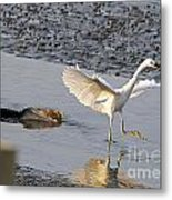 Egret Being Chased By Alligator Metal Print