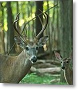 Eight Point And Fawn_9532_4367 Metal Print