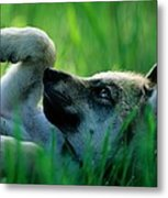 Eight-week-old Captive Gray Wolf, Canis Metal Print