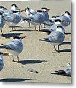 Elegant Terns Enjoying The Beach Metal Print