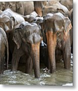 Elephant Herd In River Metal Print