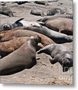 Elephant Seal Colony On Big Sur  Metal Print