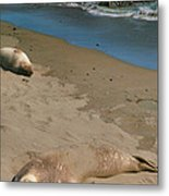 Elephant Seals Molting Metal Print by Steven Ainsworth