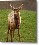 Elk 1 Metal Print