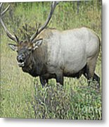 Elk Bugle Metal Print by Barry Shaffer