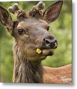 Elk Cervus Canadensis With Dandelion In Metal Print