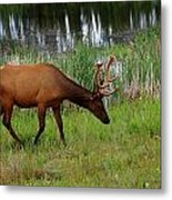 Elk Cervus Elaphus Jasper National Metal Print
