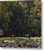 Elk Herd Crossing Buffalo National River Metal Print