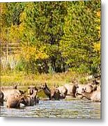 Elk Herd With Autumn Colors Metal Print