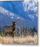 Elk In Forest, Banff National Park Metal Print