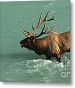 Elk In The Athabasca River Metal Print