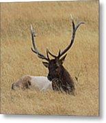 Elk In The Meadow Metal Print