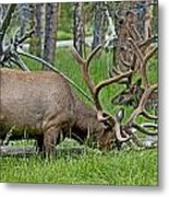 Elk Meadow  Metal Print