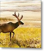 Elk Wanders On Yellow Landscape Metal Print