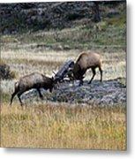 Elks Rutting Metal Print