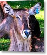 Ellipsis Waterbuck Metal Print
