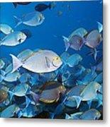 Elongate Surgeonfish Metal Print