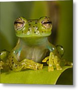 Emerald Glass Frog Centrolene Metal Print