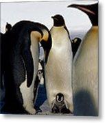 Emperor Penguins Sheltering Chicks Metal Print