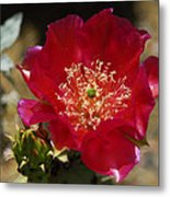 Englemann's Prickly Pear Cactus  Metal Print