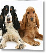 English Cocker Spaniels Metal Print