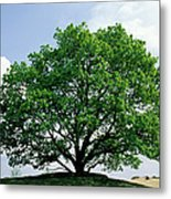 English Oak Quercus Robur In Spring Metal Print