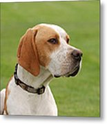 English Pointer Metal Print