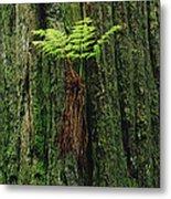 Epiphytic Fern Growing On Redwood Metal Print