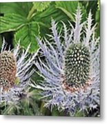 Eryngium Alpinum Flowers Metal Print