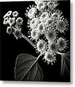Eupatorium In Black And White Metal Print